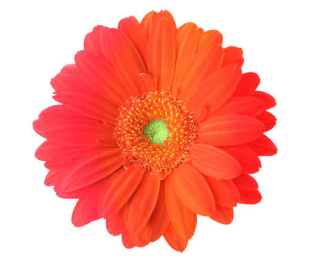redness: multicolored gerbera flower on pure white background