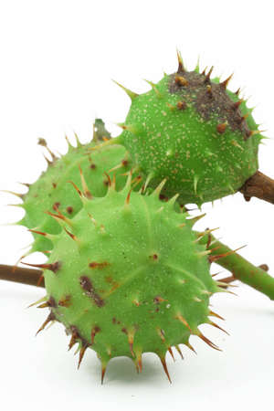 green chestnut on white photo