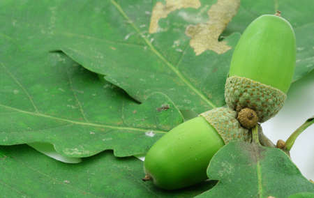 close-up of two green acorns and leaves Stock Photo - 684756