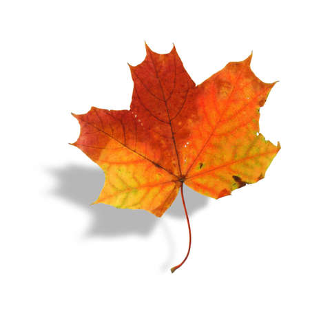 multicolored maple leaf with shadow on white Stock Photo - 692823