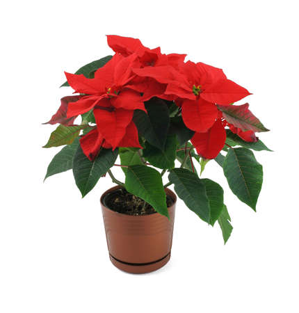 plants species: poinsettia flower isolated on white Stock Photo