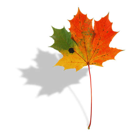 multicolored maple leaf with shadow Stock Photo - 726667
