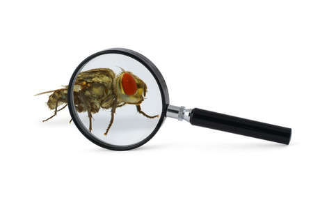 horrifying: magnified fly insect isolated on white