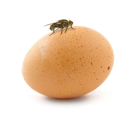 home fly sitting on egg isolated on white photo