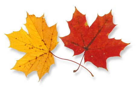 two vivid maple leaves against white background, small shadow behind leaves Stock Photo - 1091716
