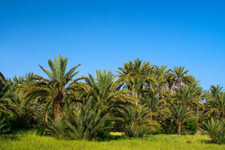 palm grove in Morocco, cloudless sky behind photo