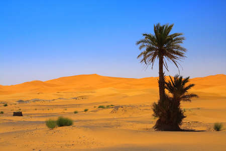 erg: palm tree on Sahara desert (Erg Chebbi, Morocco)