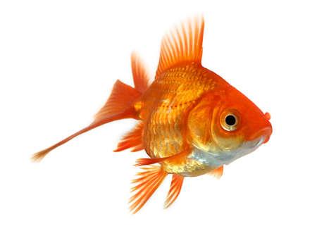 goldfishes: closeup di un ciprino dorato isolato on white background