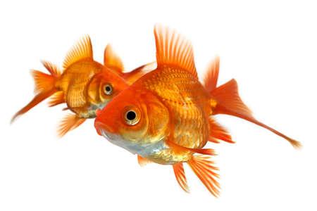 closeup of three goldfish isolated on white background photo