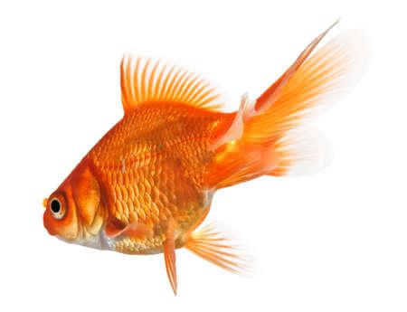 close-up of a goldfish isolated on white background