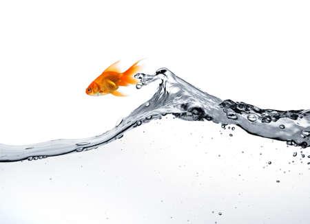 pez dorado: Carassius auratus saltar fuera del agua, aislado en blanco