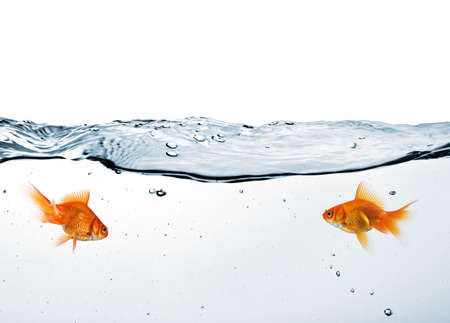 two goldfish in water isolated on white background photo