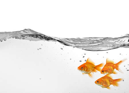 small group of goldfish in water isolated on white background photo