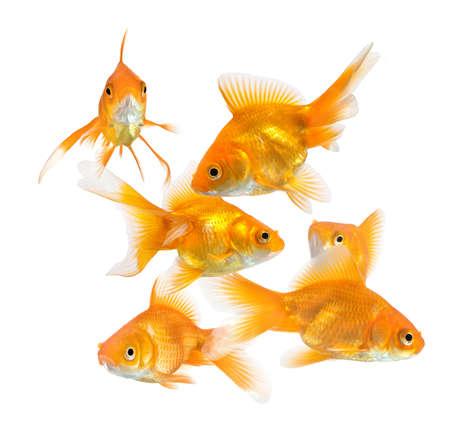 pez dorado: gran grupo de peces dorados aislados sobre fondo blanco