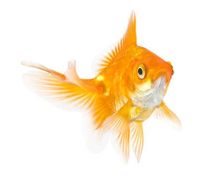 closeup of a goldfish isolated on white background photo