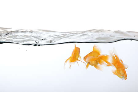 small group of goldfish in water, view from behind photo