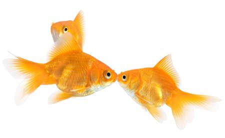 goldfish kiss isolated on white background photo
