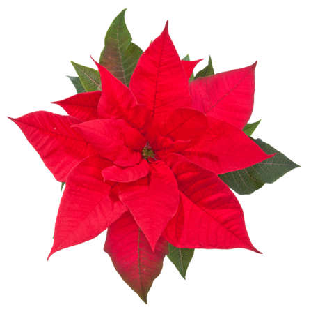 poinsettia flower on white background, top view Stock Photo
