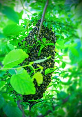 Zwerm van bijen op een boom