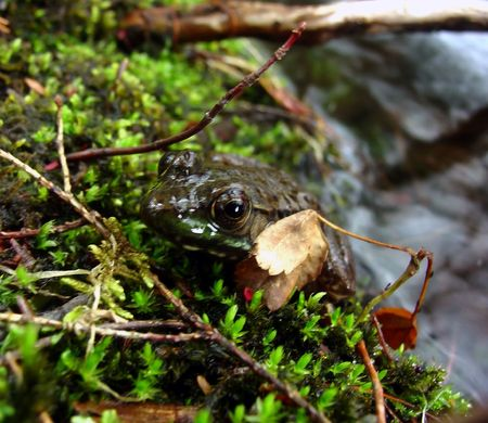 a frog camouflaged by the moss and leaves Imagens
