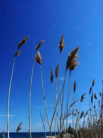 to sway: feathery grasses growing along the ocean
