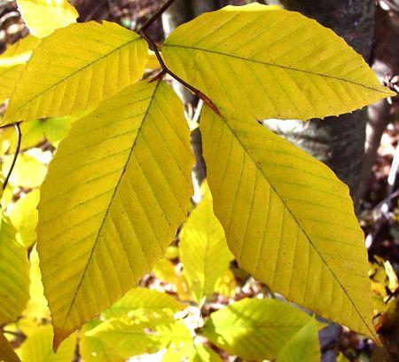 ash tree: la foglia di un albero di cenere in autunno  Archivio Fotografico