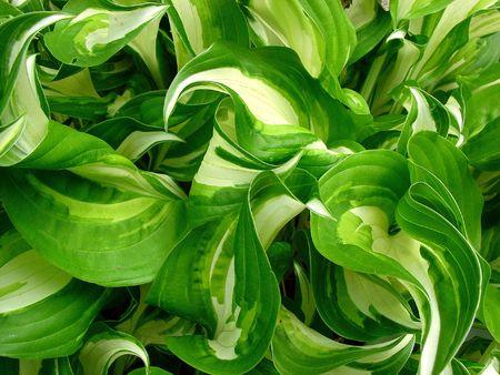 furl: hosta leaves in the garden