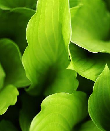 furl: a macro of green hosta leaves in the garden
