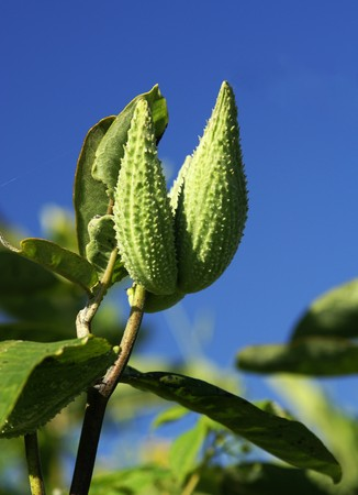 two green milkweed pods against a blue sky Stock Photo - 4336090