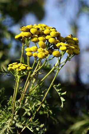 yellow tansy against a blue sky photo