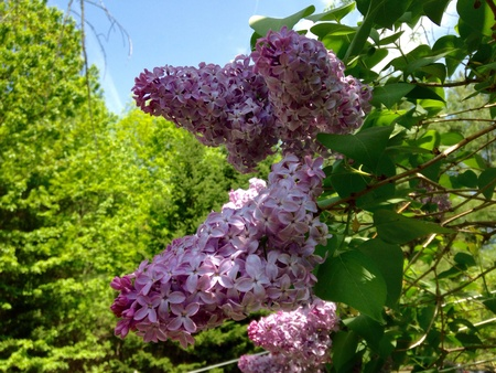 Light purple lilac flowers in the spring Stok Fotoğraf