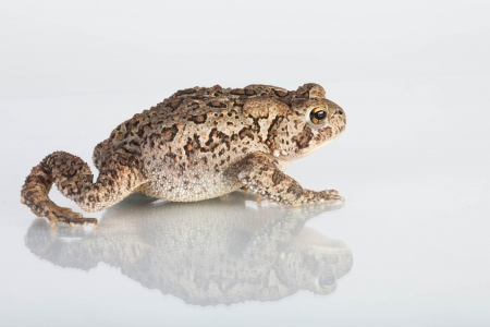 Common Toad on a white background with reflection photo