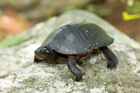 land turtle: The Eastern Spotted turtle  is the only extant species of Clemmys, is a small, semi-aquatic turtle