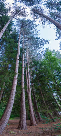 Vertical Panorama of pine trees Reklamní fotografie