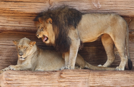 Male African Lion Standing Over His Mate and Growling While She Ignores Him