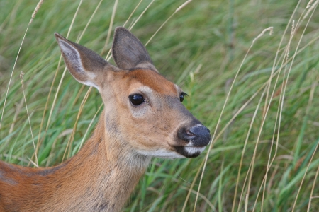 Closeup of Whitetail Deer Doe in Tall Grass.
