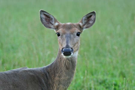 Closeup of Whitetail Deer Doe in a Green Field.