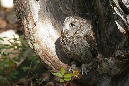 megascops: Eastern Screech Owl Raptor Inside Hollowed Out Log