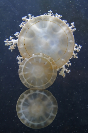 Three Spotted Lagoon Jellyfish with Dark Blue Background