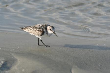 plummage: Sanderling p�jaro de orilla en la playa del oc�ano