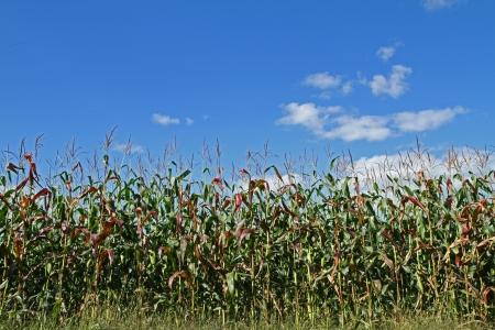 tassles: Corn Field with Brilliant Blue Sky Overhead