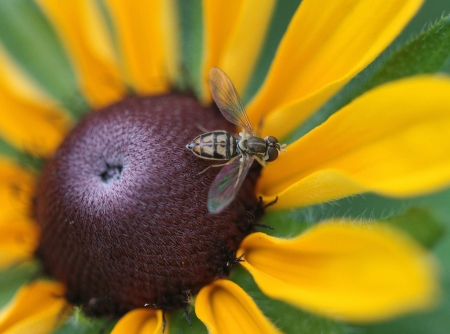 hover: Close Up of Hover Fly on Black-Eyed Susan Stock Photo