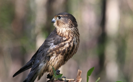 falco: Closeup of a Merlin Bird of Prey or Raptor Looking Over Shoulder. Stock Photo