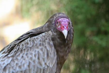 scavenger: Closeup of a Turkey Vulture Scavenger