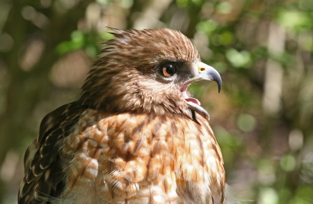squawk: Profile of a Red Shouldered Hawk Raptor Calling with Beak Open.
