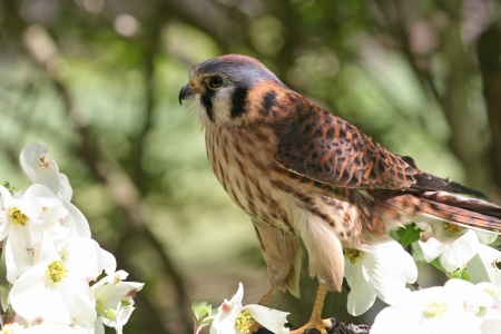 raptor: American Kestrel Raptor Perched Among Dogwood Flowers. Stock Photo