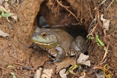Bullfrog Sitting at Entrance to Nest in Natural Habitat Stock Photo - 18869946