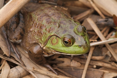 Closeup of a Bullfrog Among Fallen Cattails.