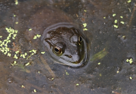 Bullfrog Partially Submerged  and Camouflaged in Murky Water