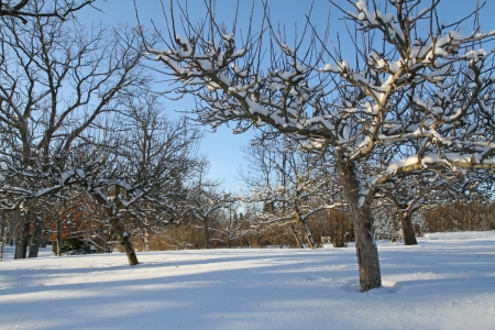 Early morning sun illuminates snow-covered apple trees in an orchard